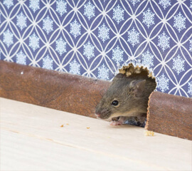 Rattenbekämpfung Haus