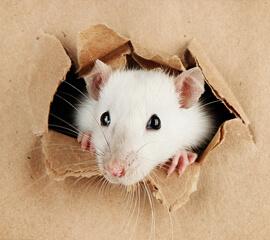 Rattenbekämpfung Wohnung.jpg