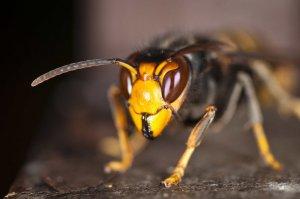 Gefährliche Wespen