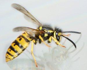 Wespenbekämfung