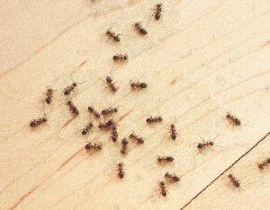 Ameisenbekaempfung in der Wohnung